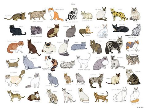 types of cats cat breeds poster 18x24