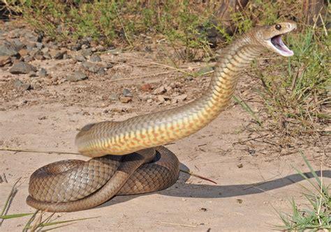 imagenes impresionantes de serpientes ataque de la serpiente marr 243 n oriental im 225 genes y fotos