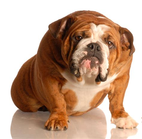 imagenes de animales gordos perro gordo gato gordo perro con sobrepeso obesidad animal
