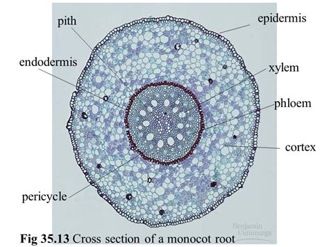 cross section of monocot root anatomy growth of angiosperms ppt video online download