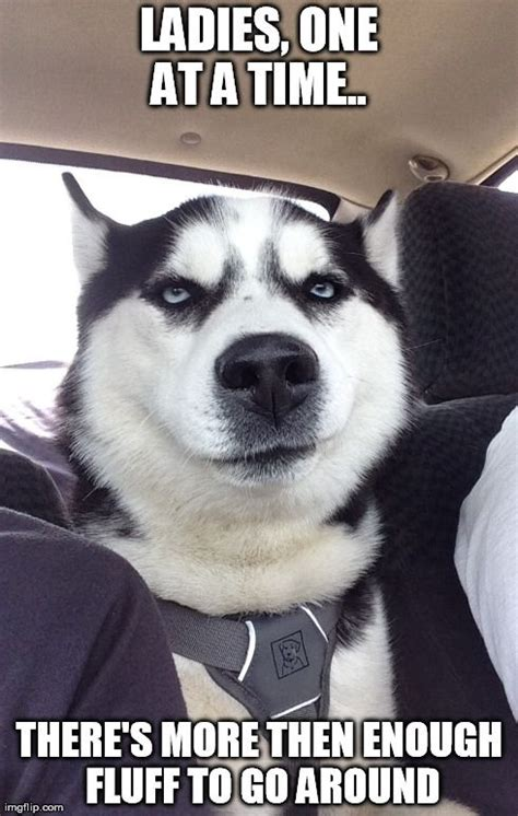 Funny Husky Meme - husky meme knows there s lots of fluff and dog hair too