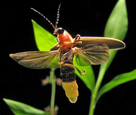 Lightning Bug Pictures File Photinus Pyralis Firefly 4 Jpg