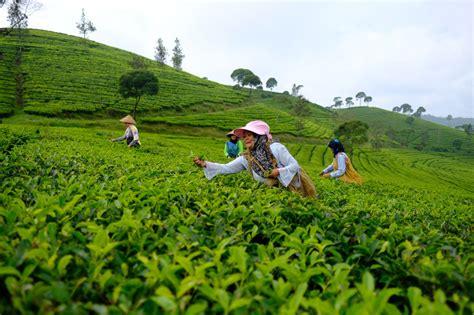 Teh Indonesia mengenal teh premium indonesia sebagai andalan minuman kafe