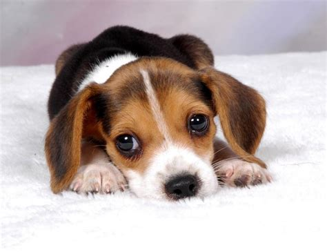 puppy slideshow miniature beagle puppies slideshow