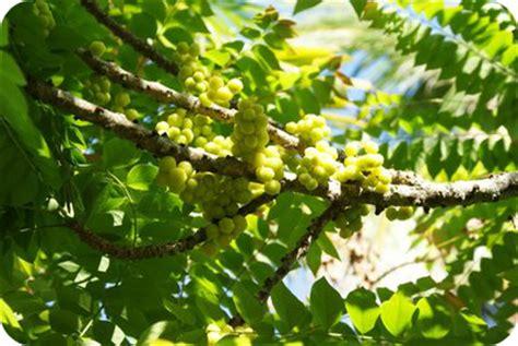 buah buahan tempatan anajingga