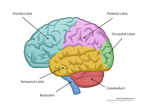 diagram of a brain human brain diagram labeled unlabled and blank