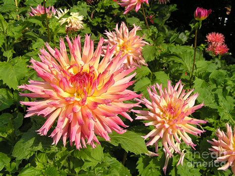 pink dahlias jpeg pink and yellow dahlia www imgkid the image kid has it
