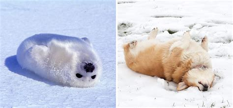 puppy seal seals are actually puppies 15 pics bored panda