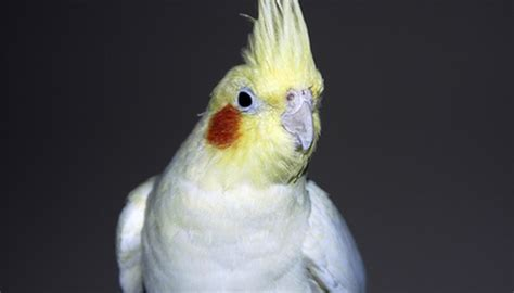What Are The Treatments For Cockatiel Lice Animals Mom Me