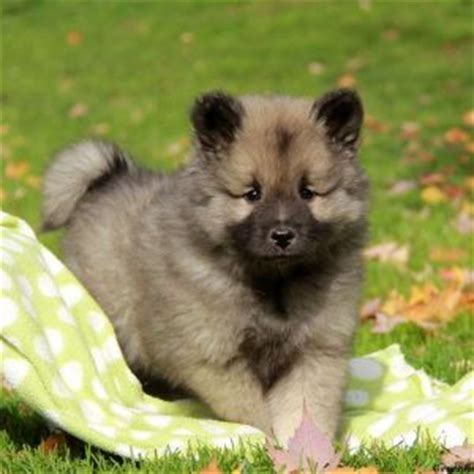 keeshond puppies keeshond puppies for sale breed profile greenfield puppies