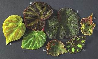 Small Trees For Backyard Best Begonia Varieties And Care Information Garden Design