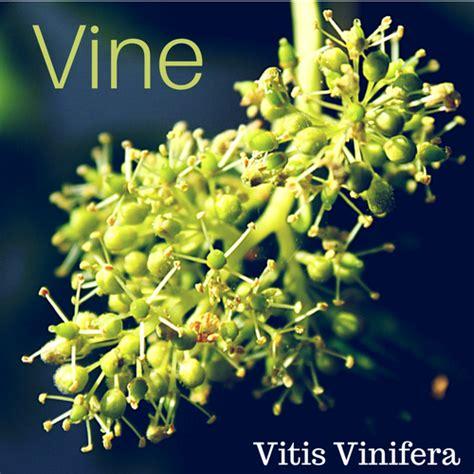 vine fiore di bach vine fiore di bach per chi pensa gli altri dovrebbe
