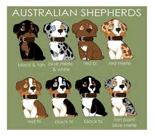 aussie color 25 best ideas about blue merle australian shepherd on