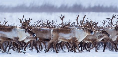 the reindeer of the mackenzie delta northwest territories