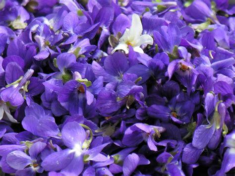 Fleur Violette by A Fleur De Go 251 T Gel 233 E De Violettes Printemps
