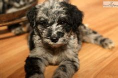 aussiedoodle puppies indiana aussiedoodle puppy for sale near south bend michiana
