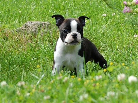 boston terrier puppies puppy dogs boston terrier puppies
