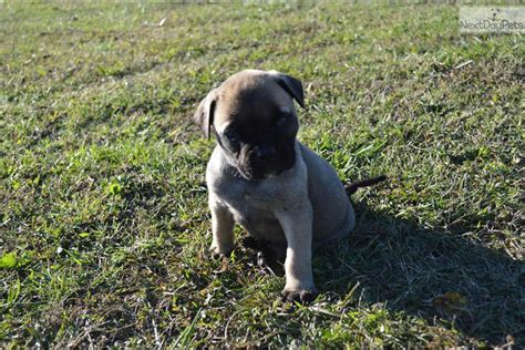 blue bullmastiff puppies for sale bullmastiff x puppies point clare nsw pets for sale breeds picture