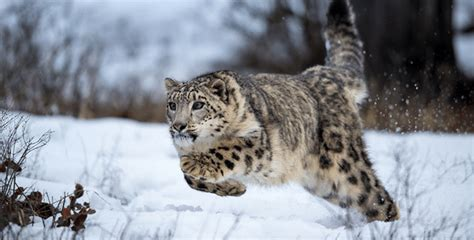 good news snow leopards      time