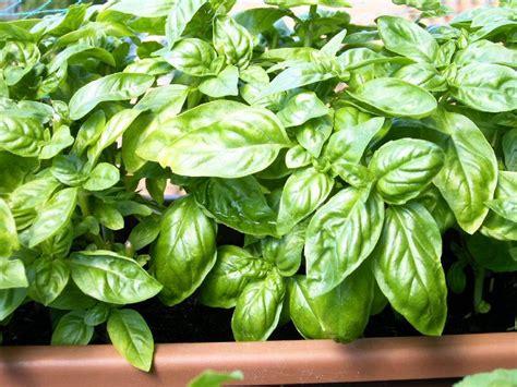come mantenere il basilico in vaso basilico come fare orto