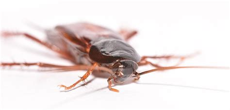best bed bug exterminator nyc cockroach pictures nyc bronx brooklyn queens and long
