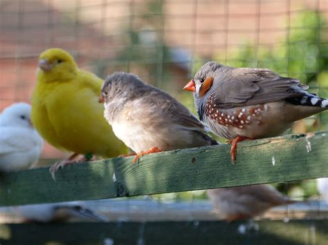 keeping different birds together keeping pet finches