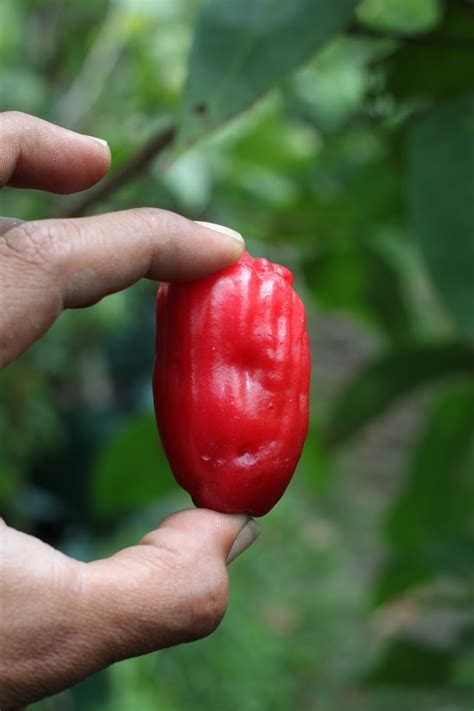 Bibit Dewandaru dhelta jual bibit buah