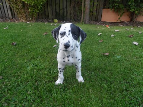 dalmatian puppies for sale dalmatian puppies for sale leven fife pets4homes