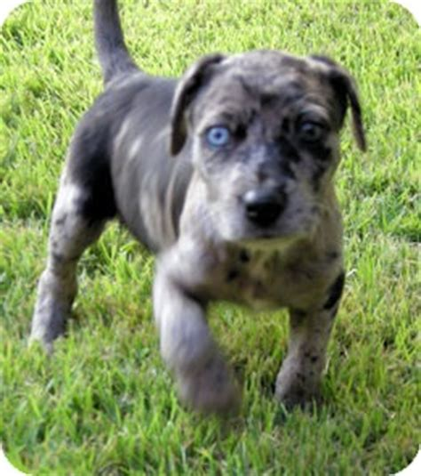catahoula lab mix puppies for sale catahoula black lab mix puppy golden retriever mix puppies breeds picture