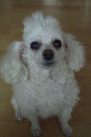 why has my maltese terrier got thin hair friends widljs