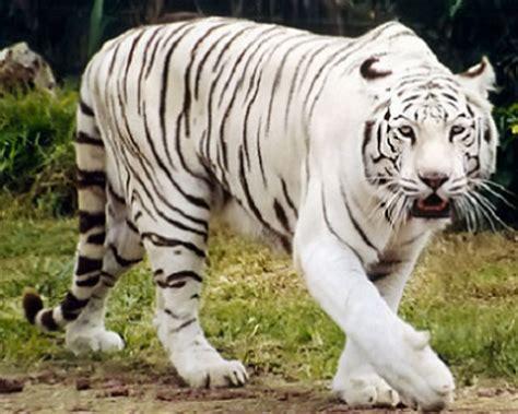 imagenes de tigres y leones juntos im 225 genes tigres y leones blancos albinos y de bengala