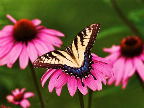 wallpaper flower and butterfly 20 beautiful pictures of butterflies