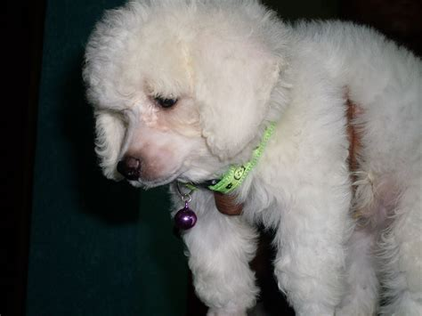picture of poodle with silky hair texture poodle puppies poodle poodle dog poodle for sale