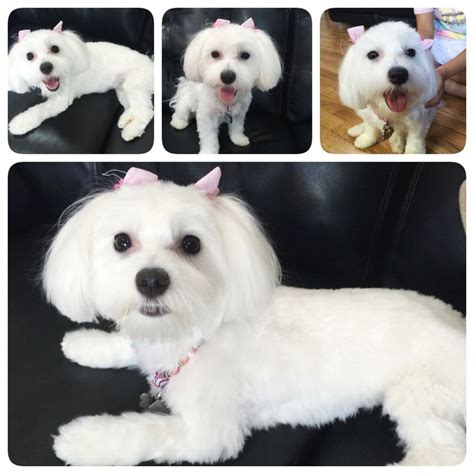 grooming cuts for maltese yorkie mix 3294 best images about maltese on pinterest shih tzu