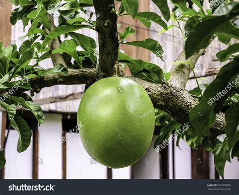 miracle tree fruit calabash tree fruit miracle fruit in philippines stock
