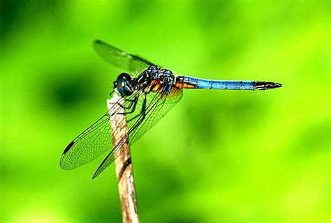 dragonfly the biggest animals kingdom