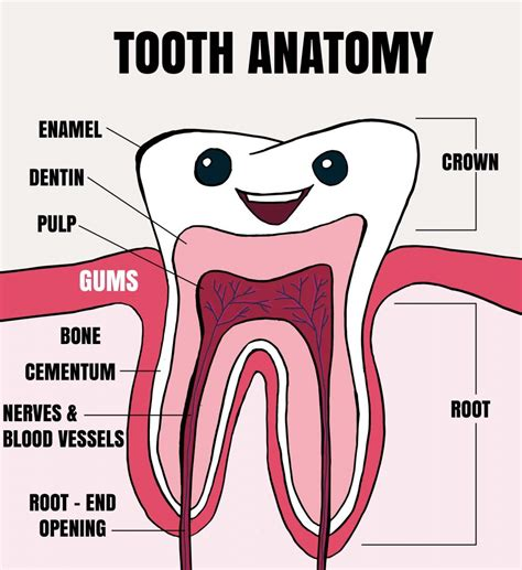 A Tooth For A Tooth learning the anatomy of a tooth tooth smiles