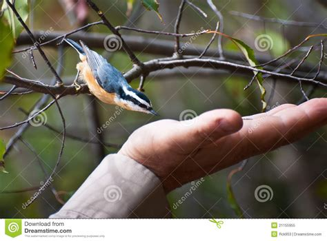 red breasted nuthatch about to eat from hand royalty free