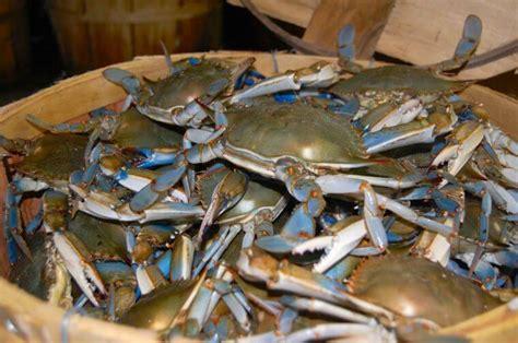 chesapeake bay blue crabs beginning calvert beacon