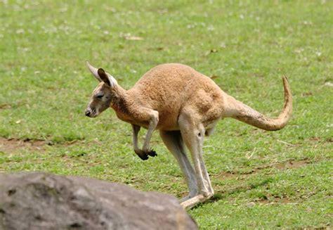 imagenes de xeso animal el canguro