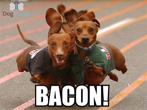 Dog Bacon Meme - best bacon memes bacon today