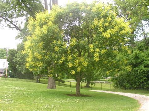 Blooming Tea Flowers - golden rain tree welcomes schoepfle visitors lorain