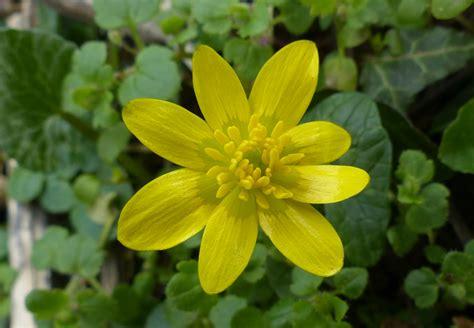 flowers uk ranunculus ficaria the lesser celandine easy wildflowers