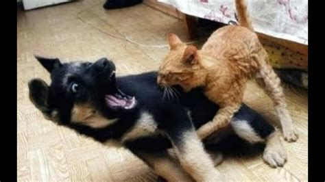 ninja cats  dogs  wins youtube