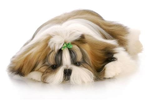 cool shih tzu names shih tzu names ideas for this