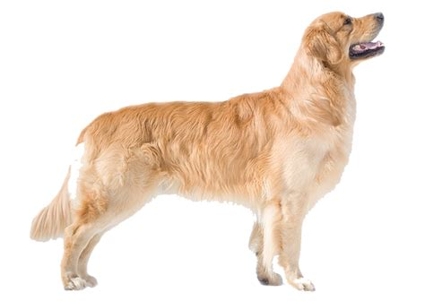 healthy golden retriever healthy weight of a golden retriever photo