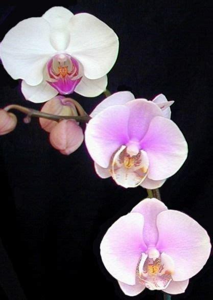 tatuaggi fiori tropicali immagine orchidea come coltivare le orchidee
