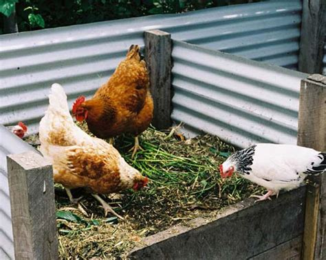 chicken in the backyard chickens the low quot down quot on the backyard flock