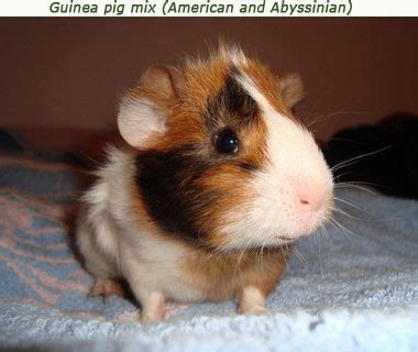 guinea pig colors guinea pig breeds colors and pictures