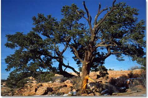 Southwest Adobe Homes by Pinyon Pine Trees Desertusa